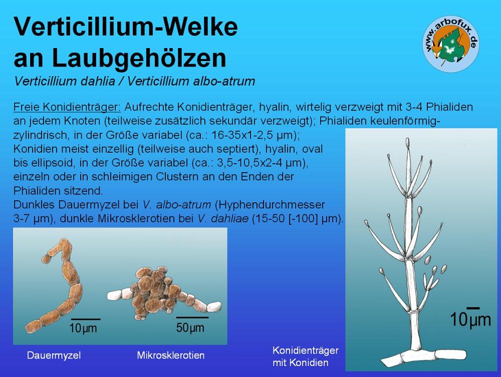 verticillium welke an laubgeh lzen auf arbofux diagnose datenbank f r geh lze. Black Bedroom Furniture Sets. Home Design Ideas